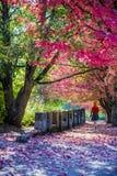 Fille avec les cheveux rouges marchant sur l'allée ensoleillée d'automne avec l'érable rouge photos libres de droits