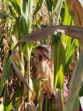 Fille dans le labyrinthe de maïs Image libre de droits