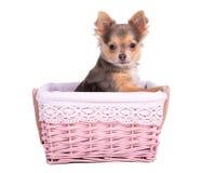 Fille de chiot de chiwawa (chienne) dans le panier rose Image libre de droits