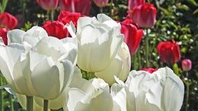 Fille de rougissement de tulipes dans les jardins murés photos libres de droits