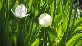 Fille de rougissement de tulipes dans les jardins mur?s photographie stock libre de droits