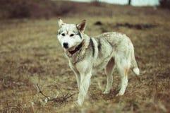 Fille en parc leur maison avec un chien de traîneau de chien La fille avec Photo libre de droits