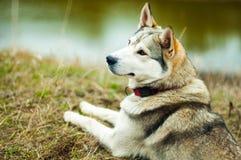 Fille en parc leur maison avec un chien de traîneau de chien La fille avec Images libres de droits