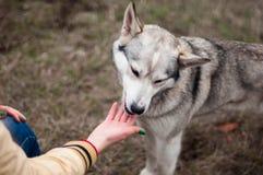 Fille en parc leur maison avec un chien de traîneau de chien La fille avec Image stock