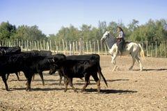 Fille Gardian travaillant un troupeau de taureaux Photographie stock libre de droits