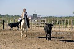 Fille Gardian travaillant un troupeau de taureaux Images stock