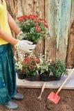 Fille portant les gants protecteurs jugeant un buisson de chrysanthème rouge prêt à planter avec les conseils en bois sur le fond Image stock