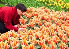 Fille prenant soin des tulipes dans le jardin d'agrément de Keukenhof Images libres de droits