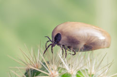 Filled with blood the tick sits on a cactus Royalty Free Stock Photos