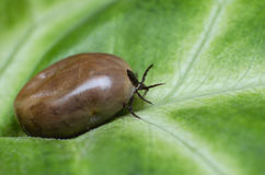 Filled with blood the tick sits on a green leaf Royalty Free Stock Photography