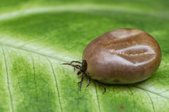 Filled with blood the tick sits on a green leaf Stock Photography