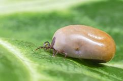 Filled with blood the tick sits on a green leaf Royalty Free Stock Photos