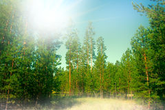 Filled with the sun in the southern pine forest. Royalty Free Stock Images