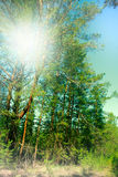 Filled with the sun in the southern pine forest. Stock Image