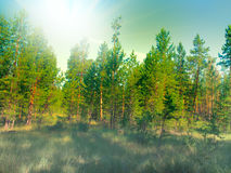 Filled with the sun in the southern pine forest. Stock Photography