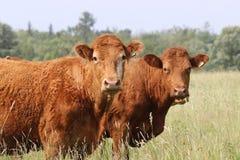 Filles de vache photo libre de droits