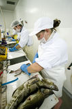 Filleting cod Stock Images