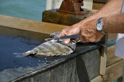 Filleting a fish royalty free stock photo