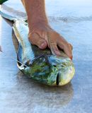 Filleting Mahi Mahi Royalty Free Stock Image
