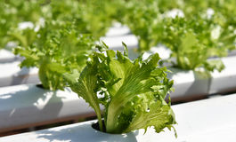 Fillie iceburg Vegetable Stock Photography
