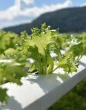 Fillie iceburg Vegetable Royalty Free Stock Image