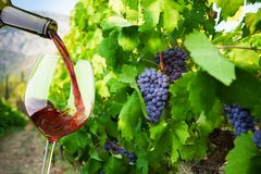 Filling the glass with finest wine Stock Photography