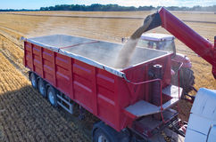 Filling the truck with wheat seeds Stock Photo