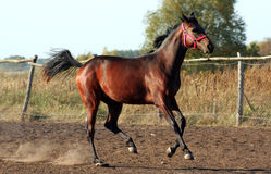 Filly. Sorrel, thoroughbred mare, horse at liberty, mare gallops Stock Image