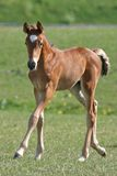 Filly. Little filly running over the field Royalty Free Stock Image