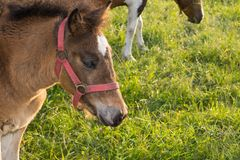 Filly grazing fresh grass Royalty Free Stock Image