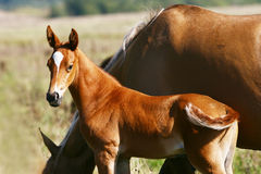 Filly with his mother Stock Photography