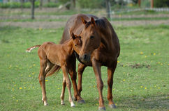 Filly with his mother Stock Image