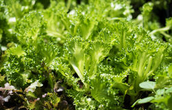 Filly Iceburg Lettuce Stock Image