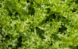 Filly Iceburg Lettuce Royalty Free Stock Images