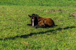 Filly laying down in the Meadow Stock Photography