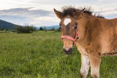 Filly on a meadow Royalty Free Stock Image