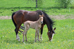 Filly and mother Stock Photo