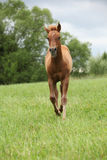 Filly of sorrel solid paint horse before a storm. Filly of sorrel solid paint horse running before a storm Stock Image