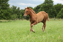 Filly of sorrel solid paint horse. Running in summer Stock Images