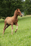 Filly of sorrel solid paint horse running. In summer Royalty Free Stock Photos