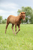 Filly of sorrel solid paint horse before a storm. Filly of sorrel solid paint horse running before a storm Royalty Free Stock Photos