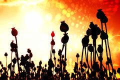Film effect. Bended stalk of poppy seed. Evening field of poppy heads Stock Image