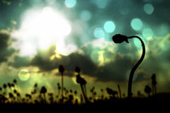 Film effect. Bended stalk of poppy seed. Evening field of poppy heads Stock Photos