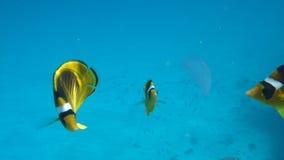 Film klamerka Butterflyfish (Chaetodon fasciatus) zbiory
