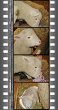Film of lambs Royalty Free Stock Image