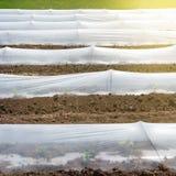 Film plastico sulla terra, sulle piantine crescenti o sulle verdure in anticipo, posizione frontale, serre basse fotografia stock