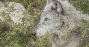 Film- Satz 4K wilde Wölfe stock video