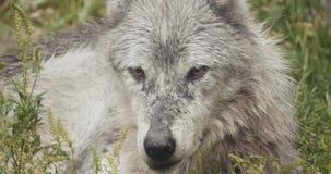 Film- Satz 4K wilde Wölfe stock video footage