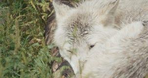 Film- Satz 4K wilde Wölfe stock footage