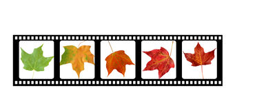 Film strip. Showing maple leaves changing colors Stock Photo